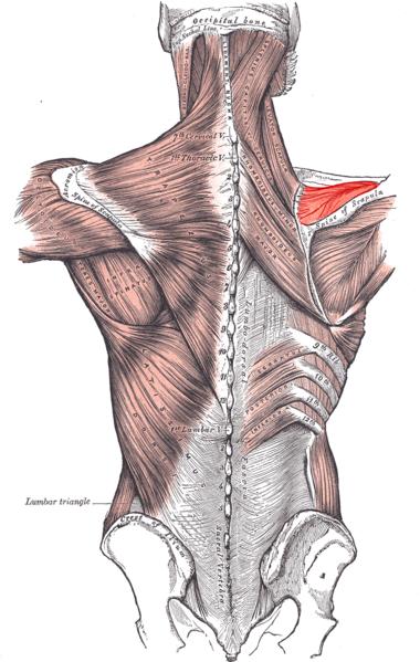 Supraspinatus Muscle Rotator Cuff